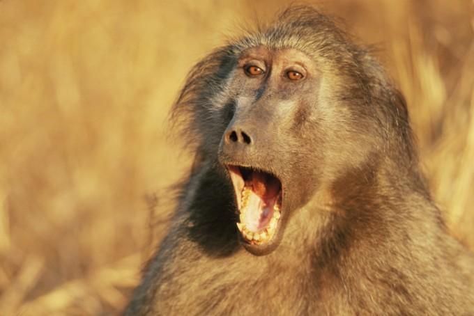 개코원숭이의 모습이다. -게티이미지뱅크