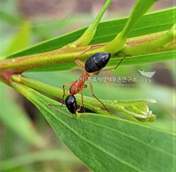 검은머리개미black-headed sugar ant (Camponotus nigriceps)