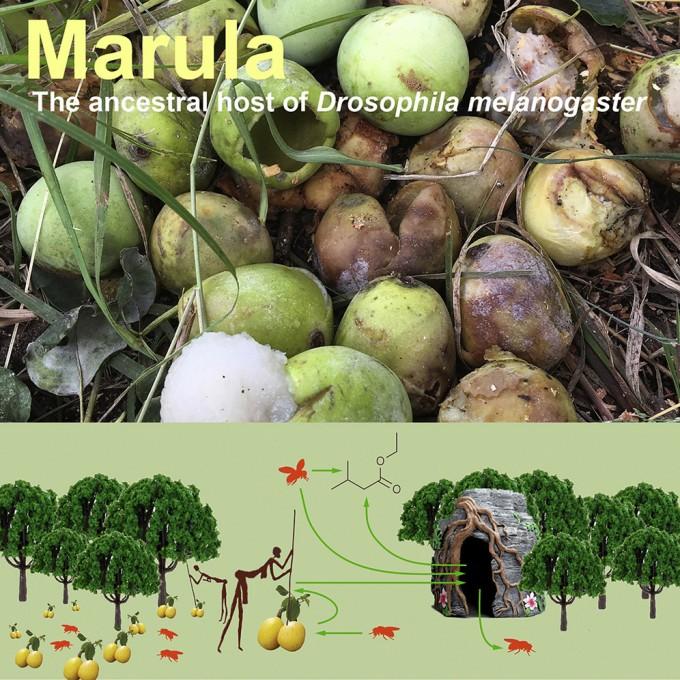 마물라 열매는 인간에게도 역사적으로 중요한 식량 공급원이었다. 초파리가 알을 까놓은 마룰라 열매를 인간들이 아프리카 각지로 시켰다. 상단은 마룰라 열매의 실제모습이다. -′커런트 바이올로지′제공