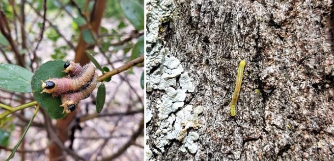 (좌)유칼립투스 먹는 잎벌 애벌레와 (우)자나방과 애벌레