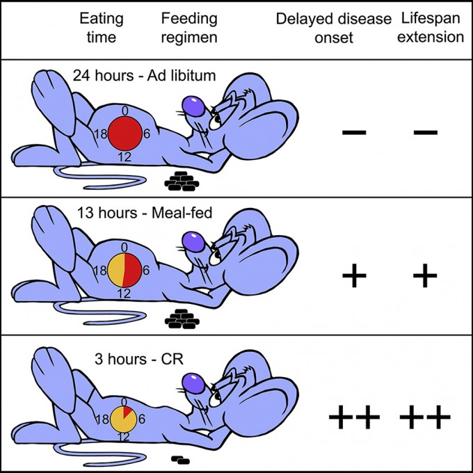 아무 때나 마음대로 먹을 수 있는 경우(위)에 비해 칼로리제한이 건강에 좋고 수명을 늘리는 효과가 뛰어나다는 사실은 잘 알려져 있지만(아래) 실천하기 어렵다. 최근 연구에 따르면 칼로리제한 없이 시간제한섭식만으로도 어느 정도 유익한 효과를 볼 수 있다(가운데).  '셀 대사' 제공