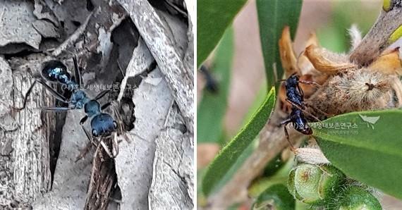 (좌)황소개미 bull ant (Myrmecia sp-horz) 와 (우) 썩은나무둥지개미(Rhytidoponera sp.)