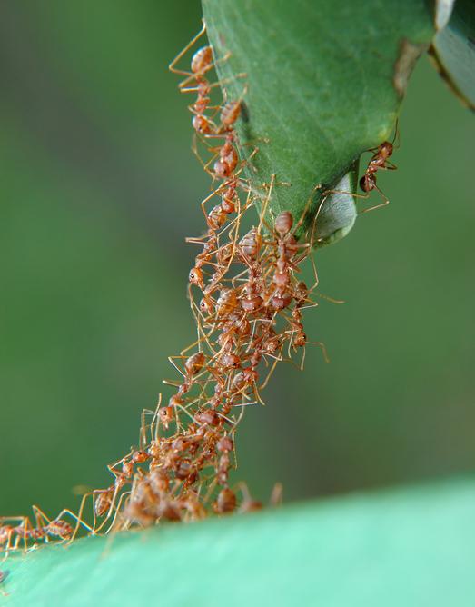 동물들은 통제 없이도 몇 가지 행동 원리만 가지고 다양한 군집을 만든다. 개미가 스스로 교량을 만드는 모습. 게티이미지뱅크