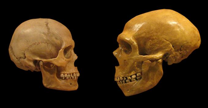 왼쪽은 호모 사피엔스, 오른쪽은 네안데르탈인의 두개골 모형이다. 뇌 용량은 네안데르탈인이 조금 더 크지만, 소뇌는 호모 사피엔스가 8배 가량 더 크다. - Wikimedia Commons/Dr MikeBaxter 제공