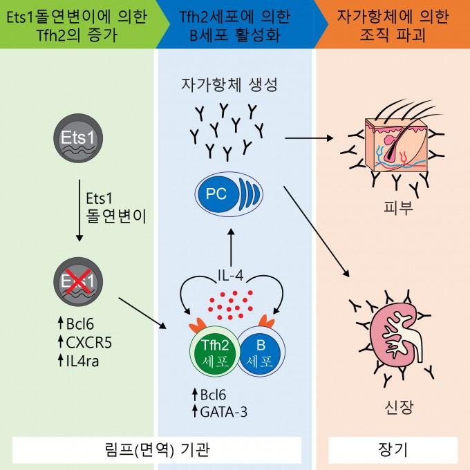 Ets1 돌연변이에 의한 루푸스 발병 모식도. - 자료: 기초과학연구원(IBS)