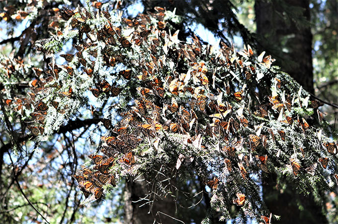 멕시코 엘 로사리오로 이동해 온 모나크 나비