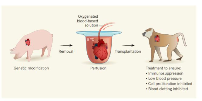 돼지 심장을 개코원숭이에 이식하는 과정을 담은 그림이다. 영상 8도에서 심장을 보관하고 산소와 영양분을 공급한 후 개코 원숭이에게 이식한다.-네이처 제공