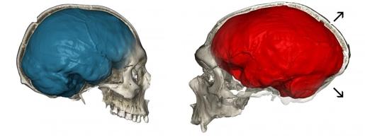 네안데르탈인의 두개골(오른쪽)과 현대인의 두개골을 비교했다. 네안데르탈인의 뇌가 앞에서 뒤로 더 길쭉하다-막스플랑크진화인류학연구소 제공