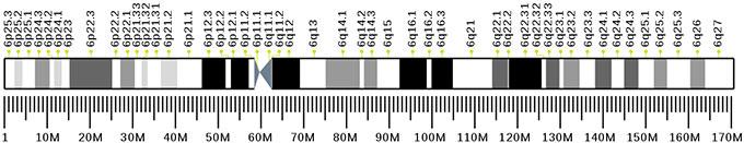 16번 염색체 장완(6q16.3-q21)에 위치하는 LIN28B유전자가 아버지 부재 효과를 중개하는 것으로 추정되고 있다. 위키피디아 제공