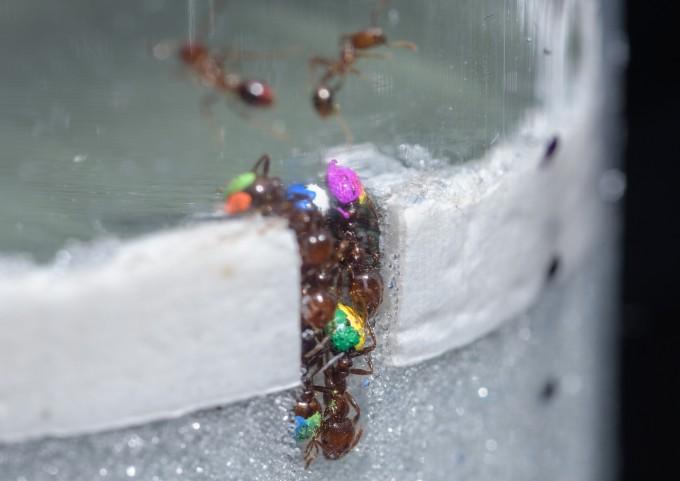 개미는 터널을 팔 때 집단 중 30%의 개미만 일을 한다. 최대의 효율로 일하는 방법이다. -조지아공대 제공