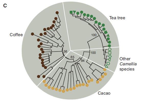 카페인 생합성에 관여하는 NMT 유전자군들의 계통도로 녹차(녹색)와 커피(고동색), 카카오(갈색)이 따로 진화했음을 보여준다. 오른쪽 빈 녹색은 녹차 이외의 동백나무속(Camelia) 식물의 NMT 유전자다.  '분자 식물' 제공