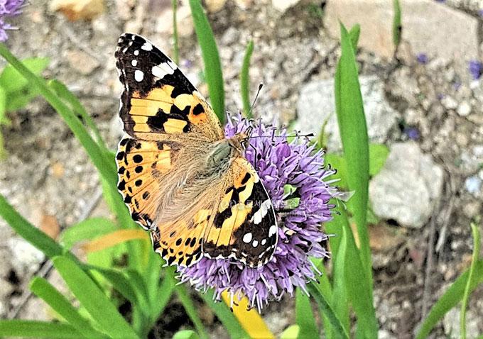 작은멋쟁이나비(Vanessa cardui, Cosmopolitan Butterfly)