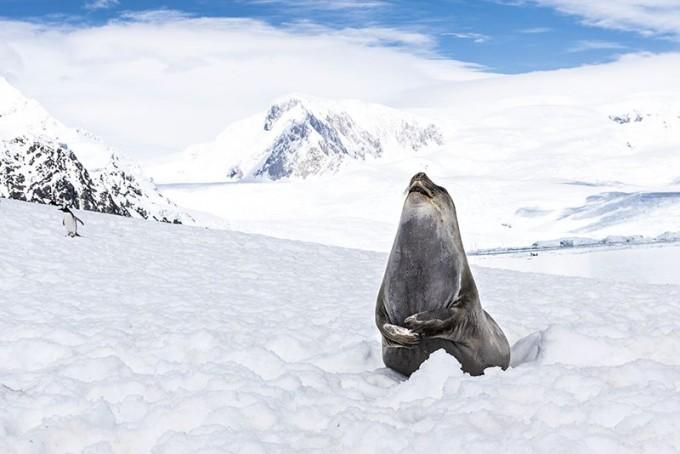 남극의 바다표범. 미국과 영국 공동 연구진은 내년 초 바다표범과 무인잠수정에 각종 센서를 부착해 기후변화에 따른 해수와 빙하의 변화를 조사할 계획이다. - 네이처 제공