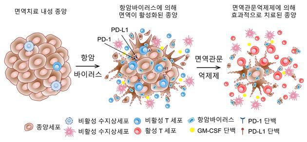 면역치료 내성 종양에 항암바이러스를 함께 넣으면 종양 내 T세포가 증가한다. 또 PD-1, PD-L1과 같은 면역관문 단백질의 발현도 증가한다. 여기에 PD-1 면역관문억제제를 동시에 투여하면 강력한 치료 반응을 보인다. -사진 제공 한국연구재단