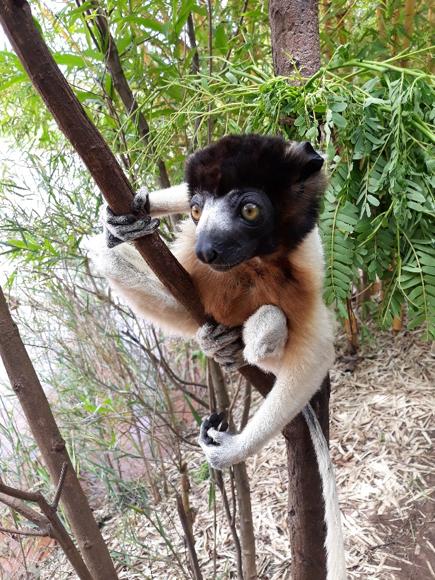 마다가스카르의 여우원숭이. 박한선 제공