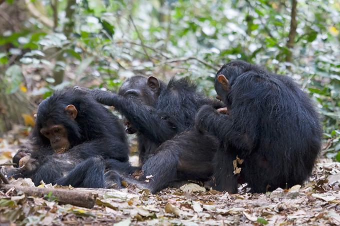 침팬지는 깨어있는 시간의 대부분을 먹기와 털고르기처럼 앉아서 보내고 잠도 오래 자지만 대사질환에 거의 걸리지 않는다. 몸의 생리가 정적인 생활에 적응돼 있기 때문이다. 곰비국립공원 제공
