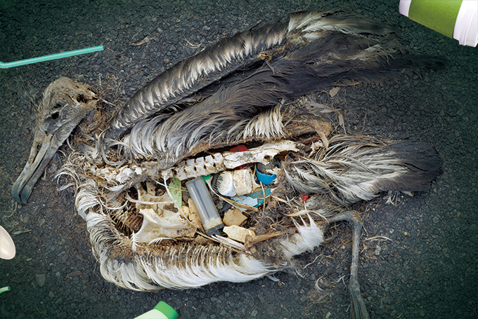 사진 작가 크리스 조던이 태평양에 있는 '미드웨이섬'에서 찍은 사진. 플라스틱을 먹고 죽은 새의 시체를 촬영했다. 뼈와 함께 남은 플라스틱의 모습이 새가 받았던 고통을 전해주는 듯하다. Chris Jordan