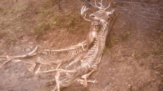 철사줄에 뿔이 걸린 사슴들