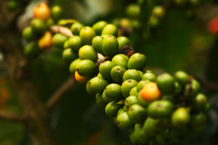 현대인이 즐겨마시는 커피를 기후변화로 인해 가까운 미래에는 마시지 못할지도 모른다. 해당 연구를 진행한 연구원은 기후변화에 대한 시급한 대처를 촉구했다.-게티이미지뱅크