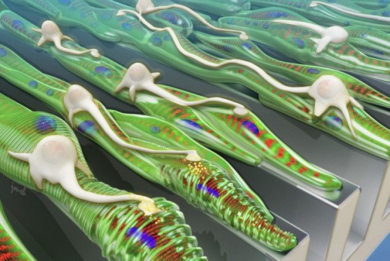 근육세포 울퉁불퉁한 표면에서 잘 자란다