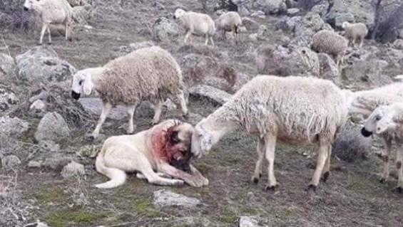 늑대와 싸운 개, 고마워하는 양