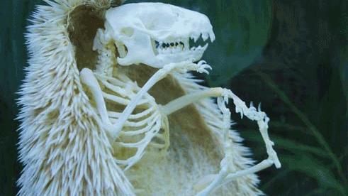뼈만 만은 고슴도치 '화제'