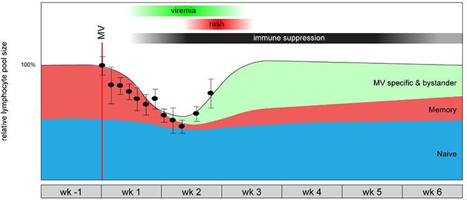 홍역을 앓고 난 뒤 나타나는 면역 억제(기억상실) 현상이 기억B세포의 감소(빨간색) 때문이라는 가설을 지지하는 동물(마카크원숭이)실험 결과가 2012년 나왔다. 반면 홍역바이러스에 대한 기억B세포는 지나치게 많다(녹색). 지난해 네덜란드의 연구자들은 홍역 환자를 대상으로 이런 메커니즘이 사람에서도 일어남을 확인했다. 'PLOS 병원체' 제공