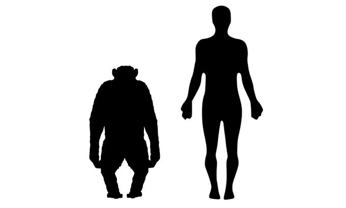 침팬지(왼쪽)과 사람의 몸 구조 실루엣으로 침팬지는 상체가 사람은 하체가 발달해 있다. 근육의 성격도 달라 속근이 3분의 2인 침팬지는 엄청난 힘으로 쉽게 나무를 오를 수 있는 반면 지근이 3분의 2인 사람은 먼 거리를 걷거나 뛸 수 있다. 위키피디아 제공