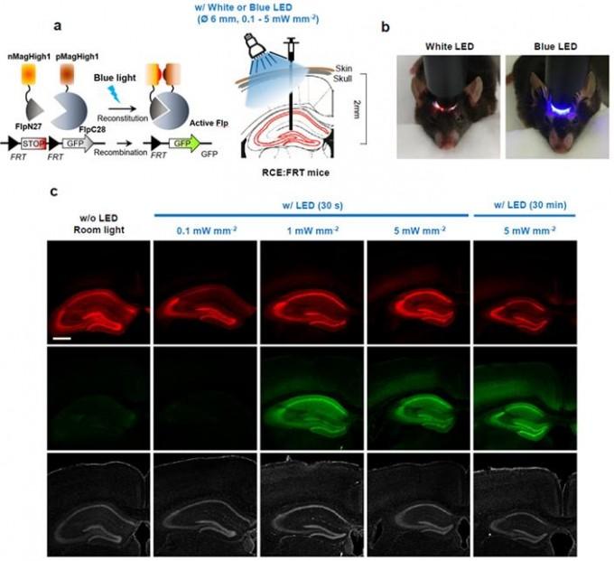 PA-Flp 단백질 작동원리 및 발현을 나타낸 사진. -사진 제공 IBS