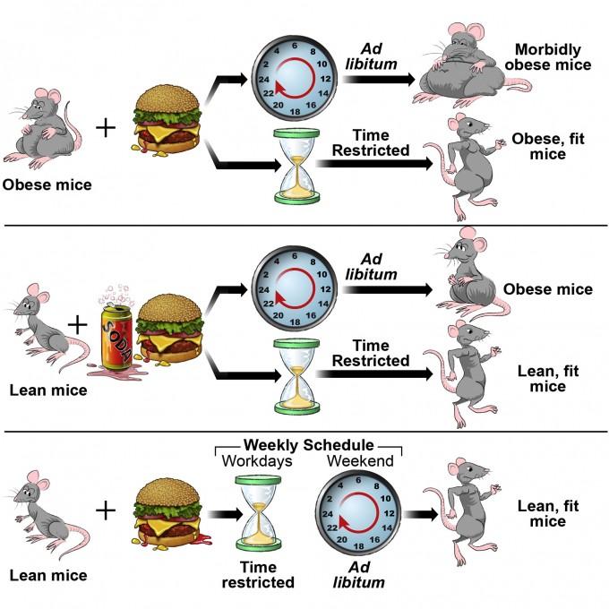 방(60%) 또는 지방(30%)과 설탕(25%)이 많은 먹이를 먹더라도 시간제한섭식(하루 8~9시간)을 하는 그룹은 언제나 먹을 수 있는 그룹(Ad libitum)에 비해 건강에 미치는 부정적인 영향이 적다. 주중에만 시간제한섭식을 해도 이런 효과가 나타나므로(아래) 며칠 지키지 못했다고 포기하지 말고 다시 실천하면 된다. '셀 대사' 제공