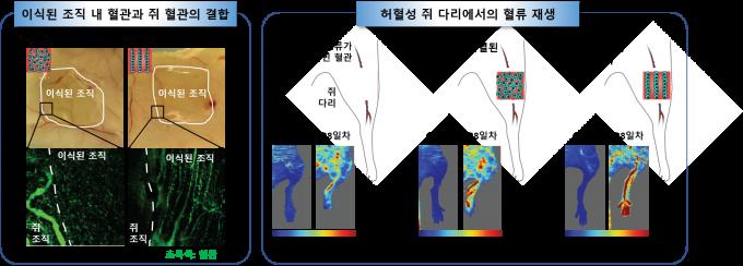 세포를 정렬한 채 배양한 조직을 쥐에게 이식했더니 1주일만에 혈관이 방향성을 갖고 자랐다.(왼쪽) 4주 후에는 하지허혈 모델 쥐에서 회복 효과도 보였다. 한국연구재단 제공