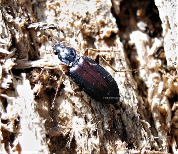 월동 중인 등빨간먼지벌레