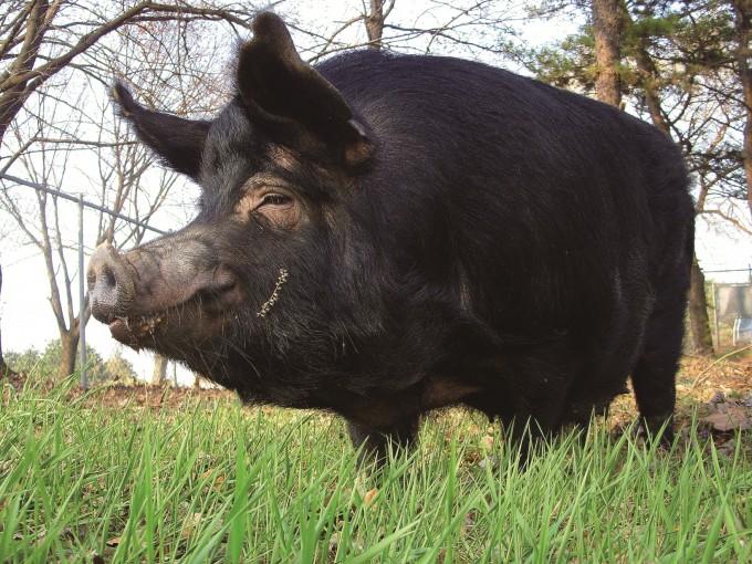 올해는 돼지의 해인 기해년이지만 돼지들에겐 공포의 해가 될지도 모른다. 전 세계로 퍼지고 있는 아프리카돼지열병 때문이다. 사진은 국립축산과학원에서 개발한 재래돼지 ′축진참돈′.-국립축산과학원 제공