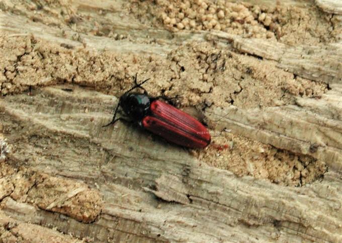 월동 중인 진홍색방아벌레