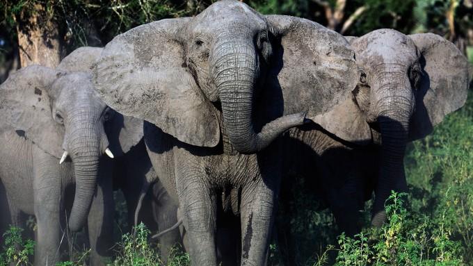 모잠비크 고롱고사 국립공원의 코끼리들. 대규모 밀렵 이후 태어나는 암컷 코끼리 가운데 3분의 1 이상이 상아가 없거나 매우 작은 상태로 태어나는 것으로 나타났다. - 모잠비크 고롱고사 국립공원 제공