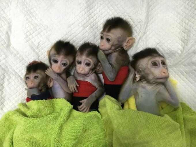중국 연구팀이 유전자 편집으로 인해 정신 질환을 안고 태어난 원숭이를 복제해 5마리의 원숭이를 탄생시켰다고 23일 밝혔다. 복제로 태어난 원숭이 5마리의 모습. 중국과학원 신경과학연구소 제공