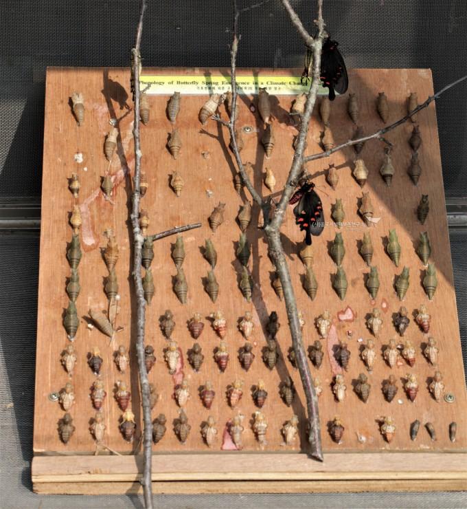 꼬리명주나비 기후변화실험 번데기 plate