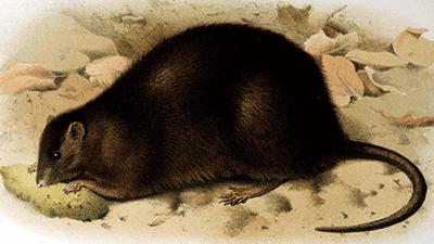 호주에서 멸종된 불독쥐. P.J.Smit(W)