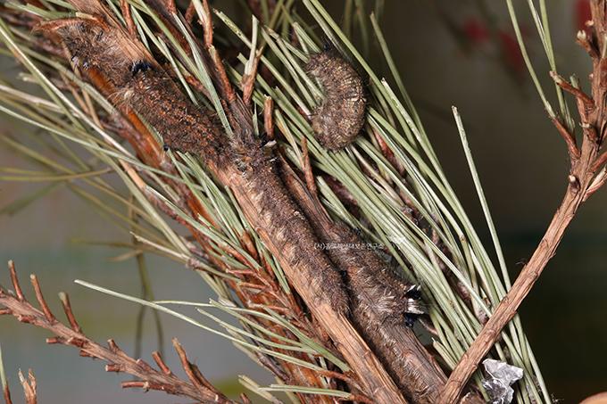 솔송나방 월동 애벌레