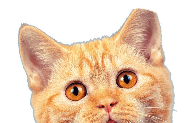 수술을 마친 길고양이는 정면에서 보았을 때 오른쪽 귀를 약 0.9cm 잘라 표시한다. 게티이미지뱅크
