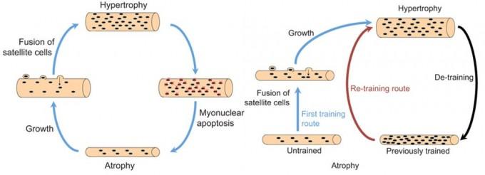 기존 근핵영역가설에 따르면 근력운동으로 근육을 자극하면 위성세포(satellite cell)가 분열해 근섬유(근육세포)에 융합되며 세포핵을 공급해 근섬유가 굵어지고 운동을 끊으면 세포핵의 일부가 사라지며 근섬유가 위축된다(왼쪽). 그러나 최근 연구에 따르면 운동을 끊어 근섬유가 위축될 때도 세포핵은 유지된다. 따라서 위성세포가 부실한 나이에도 다시 근력운동을 하면 쉽게 근섬유가 굵어진다(오른쪽). 젊었을 때 근력운동을 해두면 좋은 이유다. JEB 제공
