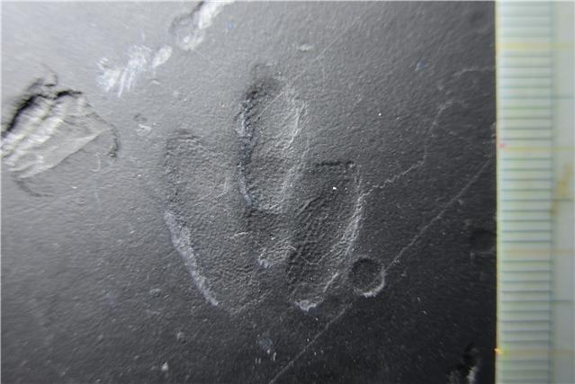 확대한 미니사우리푸스 발자국 피부 화석. 돌기가 생생하다. 진주교대 제공