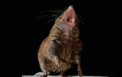[표지로 읽는 과학]노래하는 쥐에게서 인간의 대화 메커니즘 밝힌다