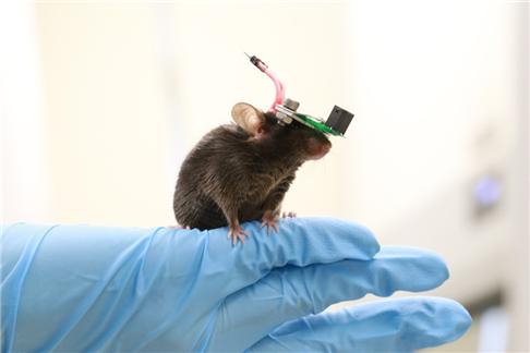 움직이는 쥐의 뇌 반응 실시간으로 읽는다
