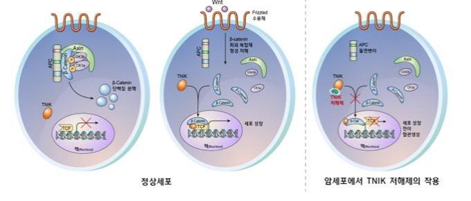 티닉(TNIK) 저해를 통한 암 치료 과정을 나타냈다. 한국화학연구원 제공