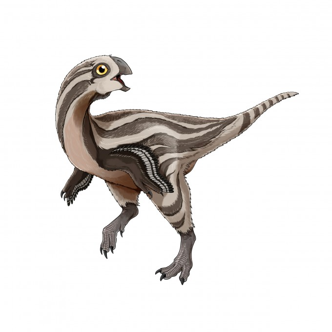 몽골에서 새로 발견된 오비랍토르 류 공룡인 '고비랍토르 미누투스'의 생전 모습을 복원했다. 태어난 지 1~2년 된 어린 개체로 두개골과 골반, 다리뼈 등이 일부 발견됐다. 두꺼운 주둥이를 지녀 조개 등 단단한 먹이를 먹었을 것으로 추정된다.-사진 제공 김도윤