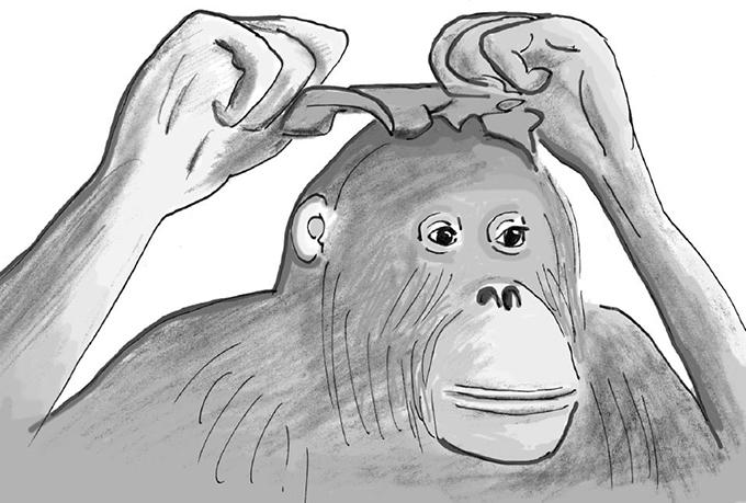 대형 유인원이 처음 거울을 접했을 때는 깜짝 놀라지만 어느 순간 원리를 깨닫고 이를 활용한다. 독일 오스나브뤼크동물원에서 살았던 암컷 오랑우탄 수마는 거울 앞에서 양배추 잎을 머리에 얹어 치장하며 시간을 보냈다. 프란스 드 발이 그린 그림이다. '플로스 생물학' 제공