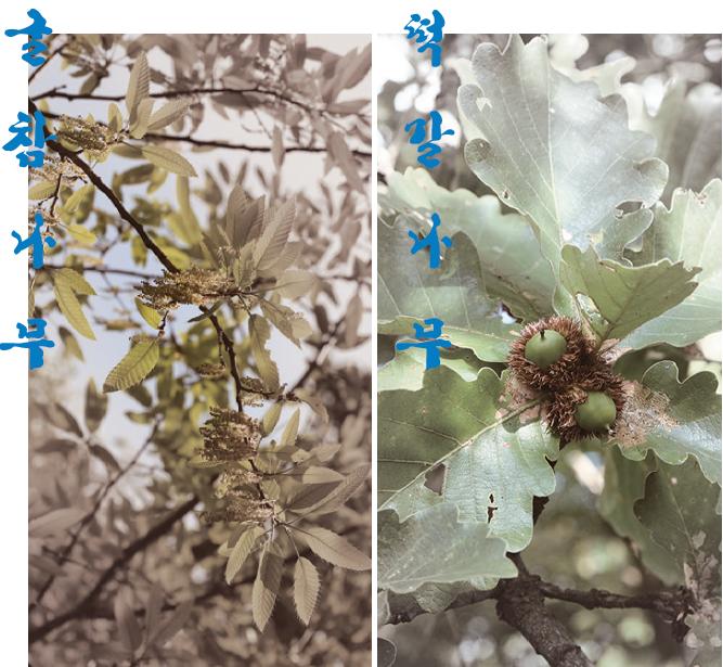 굴참나무와 떡갈나무의 사진. '조선식물향명집'은 일본 학계가 잘못 명명한 두 나무의 우리말 이름을 바로잡았다. 국가생물종지식정보시스템