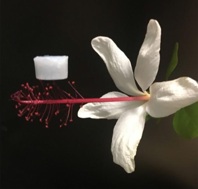 매우 가벼워 꽃의 암술 위에도 올릴 수 있다. 어른 새끼손톱 만한 크기가 0.1mg이 채 나가지 않는다. UCLA 제공