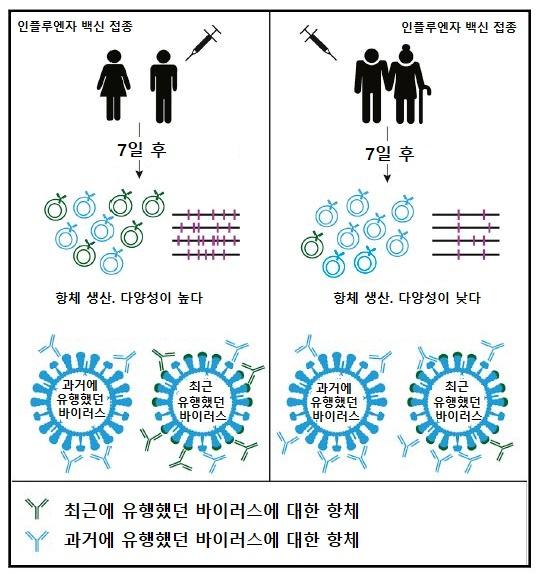고령화일수록 독감백신이 안 듣는 이유를 설명한 일러스트. 인플루엔자바이러스에 돌연변이가 자주 발생하는 것에 비해, 고령일수록 B세포가 다양한 항체를 생산하는 능력이 떨어진다. Henry et al. / Cell Host & Microbe 제공